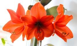 Cabeça de flor de Amaryllis fotografia de stock
