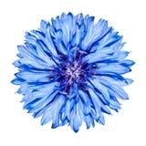 Cabeça de flor azul do Cornflower - cyanus do Centaurea Fotografia de Stock Royalty Free
