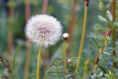 Cabeça de flor branca do Taraxacum do dente-de-leão composta de seedheads pequenos numerosos na parte dianteira foto de stock royalty free