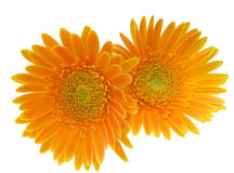 Cabeça de flor da margarida de transvaal Fotos de Stock