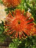 Cabeça de flor de Grevillea Fotografia de Stock