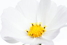 Cabeça de flor do cosmos Foto de Stock
