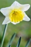Cabeça de flor do narciso Imagens de Stock Royalty Free