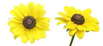 Cabeça de flor do Rudbeckia Imagens de Stock