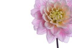 Cabeça de flor roxa bonita da dália isolada foto de stock royalty free