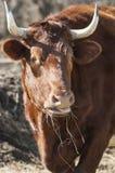 Cabeça de gado Fotos de Stock