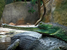 cabeça de gharial Fotos de Stock