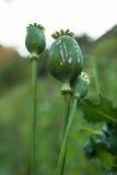 Cabeça de grito da papoila, planta do ópio Imagem de Stock