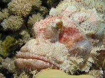Cabeça de peixes de escorpião foto de stock royalty free