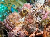 Cabeça de peixes de escorpião fotos de stock royalty free