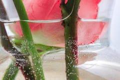 Cabeça de Rosa que flutua na água e nas bolhas imagem de stock royalty free