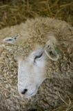 Cabeça de Sheeps Foto de Stock Royalty Free