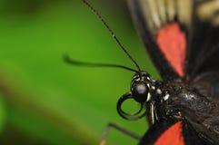 Cabeça de Swallowtail Imagem de Stock Royalty Free