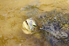 Cabeça de tartarugas verdes Imagens de Stock Royalty Free