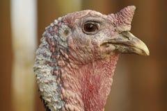 Cabeça de Turquia Fotografia de Stock Royalty Free