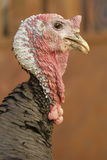 Cabeça de Turquia Foto de Stock Royalty Free