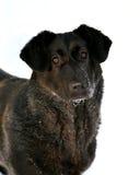 cabeça de um cão Fotos de Stock Royalty Free