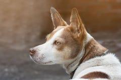 A cabeça de um cão branco com os pontos brancos e marrons no sol, o cão está sorrindo, close-up imagens de stock royalty free