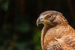 A cabeça de um caçador do falcão Imagens de Stock Royalty Free