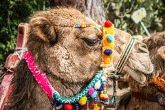 Cabeça de um camelo Foto de Stock Royalty Free