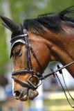 Cabeça de um cavalo da ligação em ponte da mostra na ação Imagem de Stock