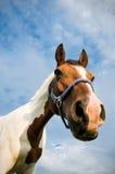 Cabeça de um cavalo de um quarto Fotos de Stock