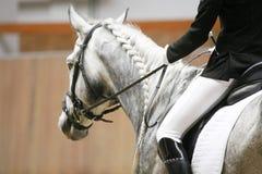 Cabeça de um cavalo do adestramento na ação Juba trançada para o adestramento Foto de Stock