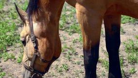 Cabeça de um cavalo marrom em um pasto que pasta vídeos de arquivo