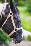 Cabeça de um cavalo preto e branco Fotografia de Stock Royalty Free