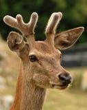 cabeça de um cervo no campo Fotos de Stock Royalty Free