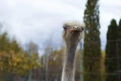A cabeça de um close-up adulto da avestruz contra um fundo do céu fotografia de stock
