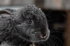 Cabeça de um close-up cinzento pequeno do coelho no inverno Flocos de neve na cabeça fotografia de stock royalty free