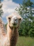 A cabeça de um close up do camelo no fundo obscuro Foto de Stock