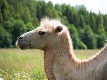 A cabeça de um close up do camelo no fundo obscuro da floresta Fotos de Stock