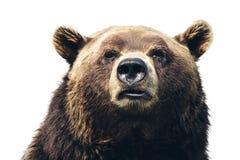 Cabeça de um close-up enorme do urso no fundo branco foto de stock royalty free