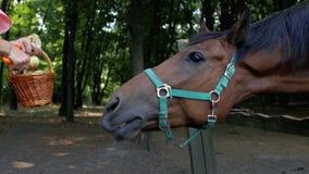 Cabeça de um close up marrom bonito do cavalo com uma cesta das maçãs Uma menina está cortando maçãs para alimentar seu cavalo 4K video estoque