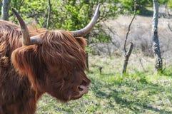 Cabeça de um escocês escocês fotografia de stock royalty free