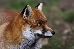 Cabeça de um Fox vermelho Foto de Stock