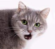 A cabeça de um gato cinzento com a boca levemente aberta Imagem de Stock Royalty Free