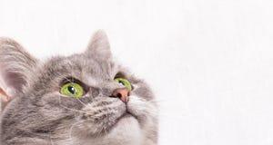 A cabeça de um gato cinzento com olhos verdes Foto de Stock Royalty Free