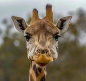 Cabeça de um girafa em um jardim zoológico imagem de stock royalty free