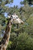 Cabeça de um Giraffe Foto de Stock