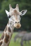 Cabeça de um giraffe Foto de Stock Royalty Free
