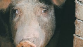 Cabeça de um grande porco doméstico vídeos de arquivo