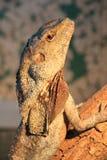 A cabeça de um lagarto com um Chlamydosaurus do pescoço real, fotografada em um jardim zoológico fotos de stock royalty free