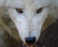 Cabeça de um lobo branco Foto de Stock Royalty Free
