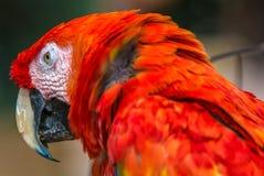 Cabeça de um papagaio vermelho bonito fotografia de stock royalty free