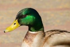 Cabeça de um pato Fotografia de Stock Royalty Free
