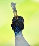Cabeça de um pavão Foto de Stock