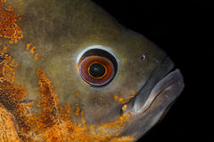 Cabeça de um peixe de Oscar Fotografia de Stock Royalty Free